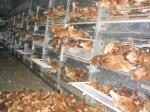 Hühnerbefreiung aus Aufzuchtanlage mit Volierenhaltung 23.06.06