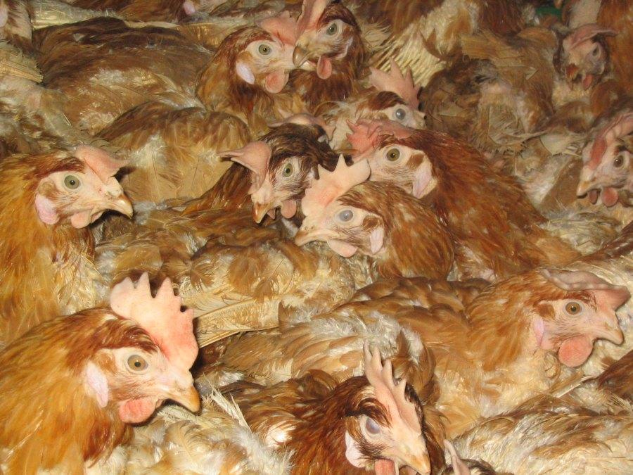 Eier: Typische Bodenhaltung