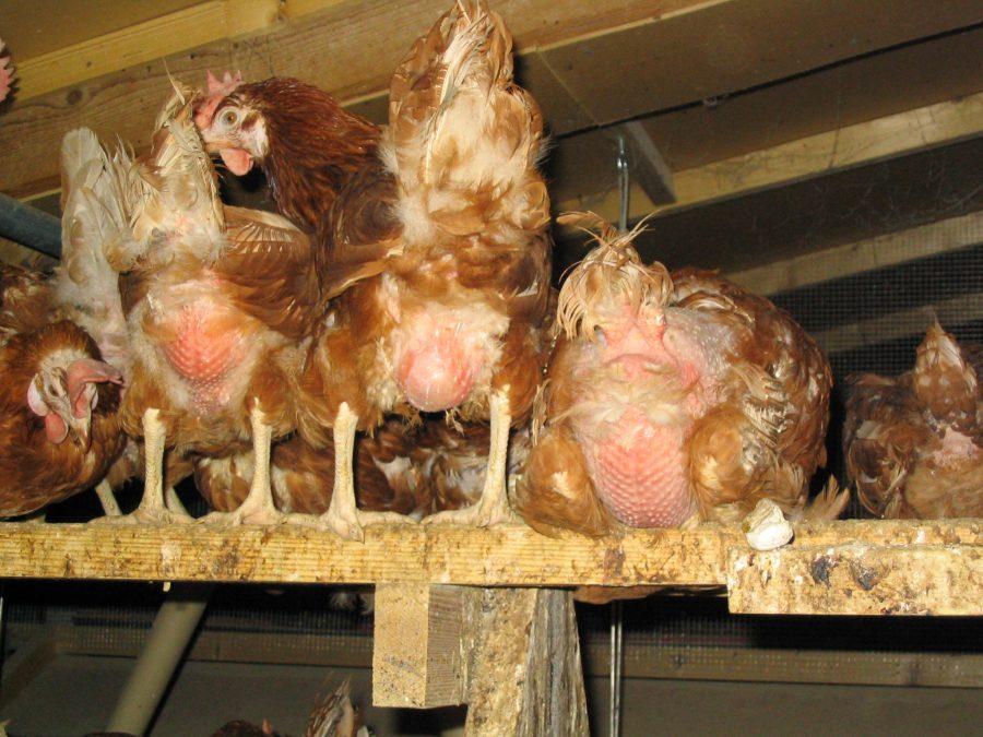 Idyll bäuerlicher Hühnerhaltung