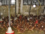 Hühnerbefreiung 11.03.07