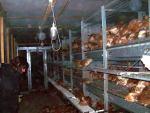 Hühnerbefreiung aus Aufzuchtanlage 07.04.2012