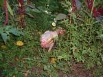 Aus Bodenhaltung befreites Huhn 03.10.04