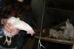 Hühnerbefreiung aus Bodenhaltung 30.10.2011