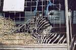Zebras Zirkus Busch Roland 29.03.99